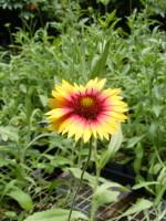 Blanket flower 060213