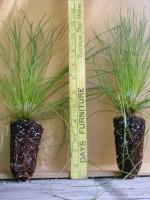 Longleaf pine 050514